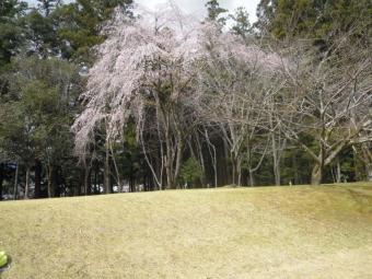 旧社地の枝垂れ桜180318