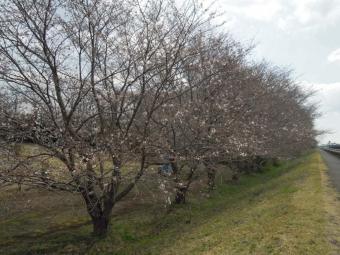中津川右岸の桜180324