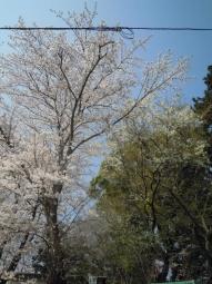 東海大学手前の神社の桜180328