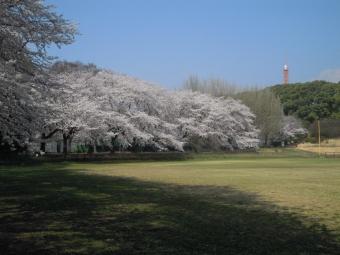 東海大学球戯場の桜180328