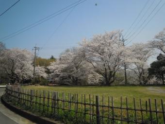 七国荘駐車場の桜180328