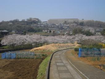 厳島湿生公園の桜180328