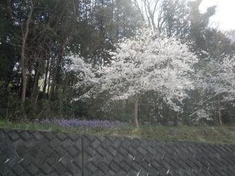 急坂に行く前の桜と大根花180328