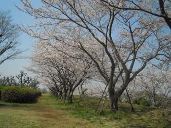 パークゴルフに行くところの桜180328