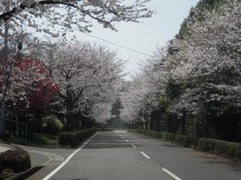農業試験場の桜180328