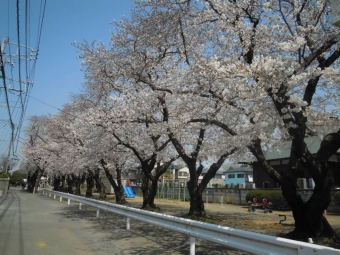 お肉屋さんの帰りに通る道の神社の桜180328