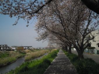 花水川合流近くの渋田川桜180402