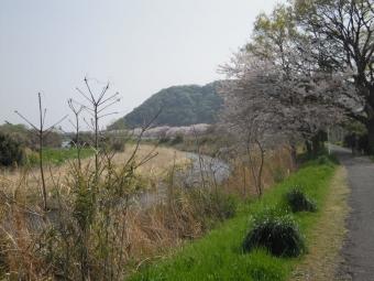 花水川傍の細い川沿いの桜180402