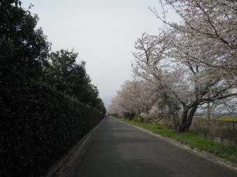 花菜ガーデン周りの桜180402