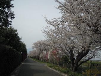 花菜ガーデン周りの桜ー2-180402