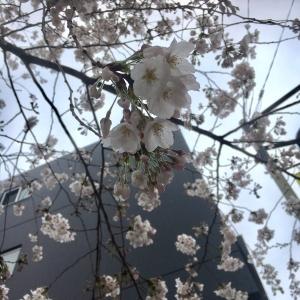 Sakura2018322