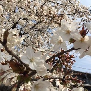 2018 03 26 春桜-3
