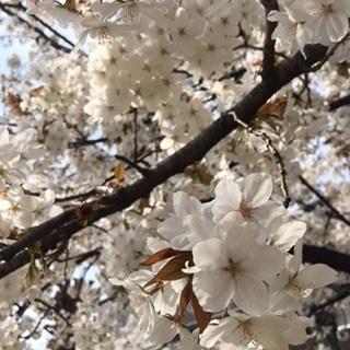 2018 03 26 春桜-6
