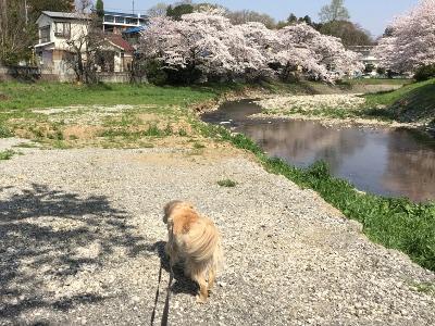 今年の桜散歩