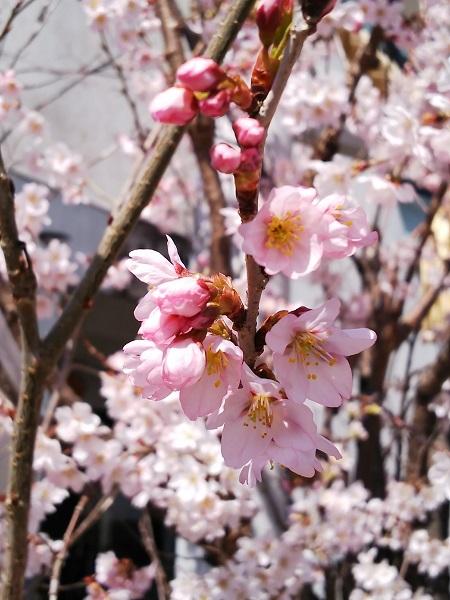 20180314桜