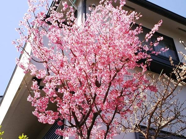 20180314早咲きの濃いピンクの桜