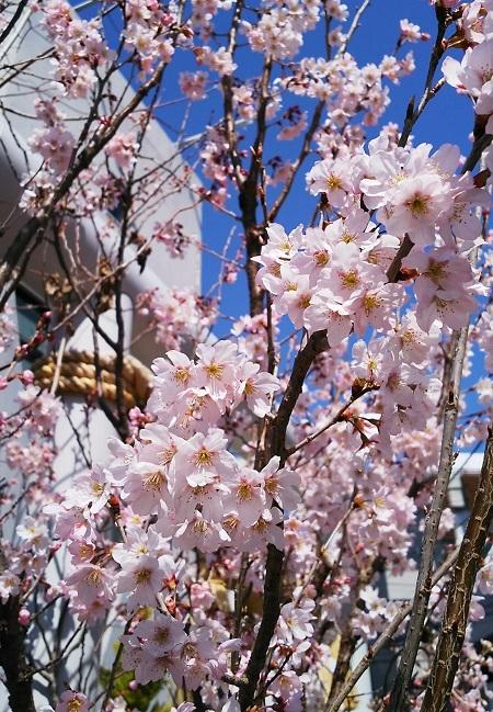 20180314満開の桜