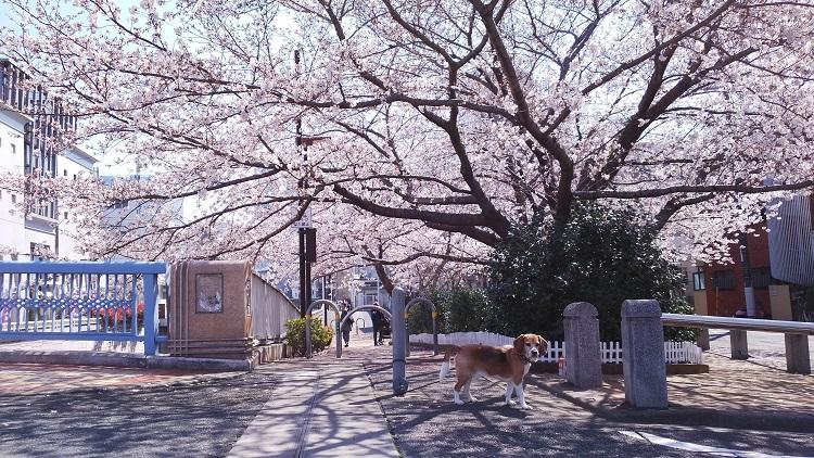 20180325桜の下で