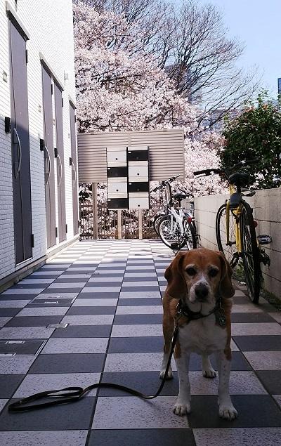 20180325秘密の桜