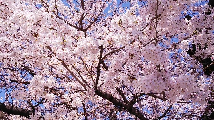 20180325満開の桜