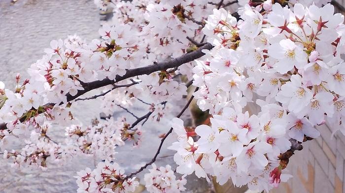 20180327川辺の桜