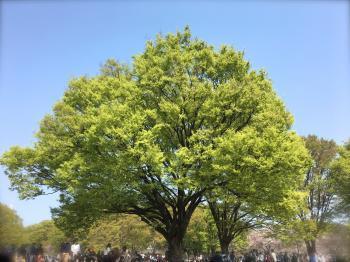 Hanami at Yoyogi park2