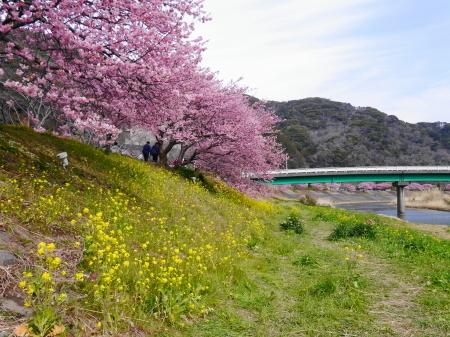 河津桜に菜の花