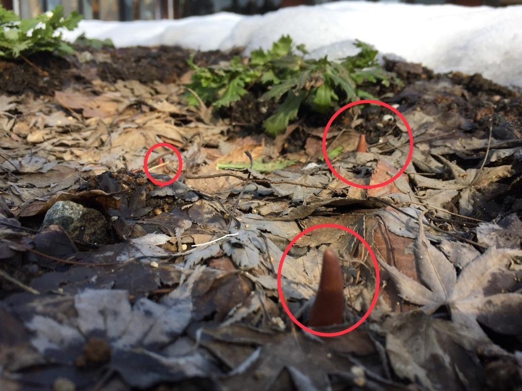 カモミール花壇20180307チューリップの芽
