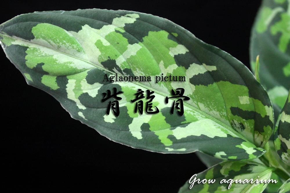 アグラオネマ ピクタム ハイリュウコ[Aglaonema pictum 背龍骨]