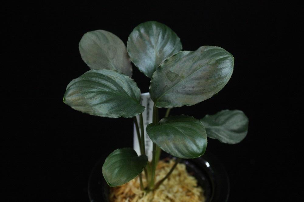 ホマロメナsp.ブロードリーフスマトラ[Homalomena sp.Broad leaf Sumatera]