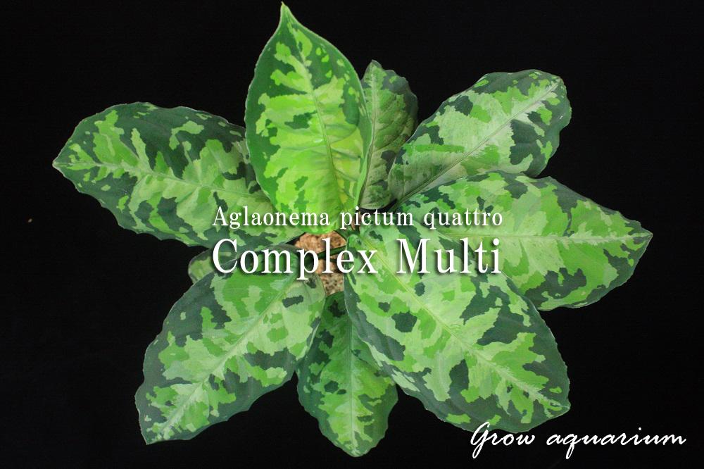 アグラオネマ ピクタム クワトロ コンプレックスマルチ[Aglaonema pictum quattro