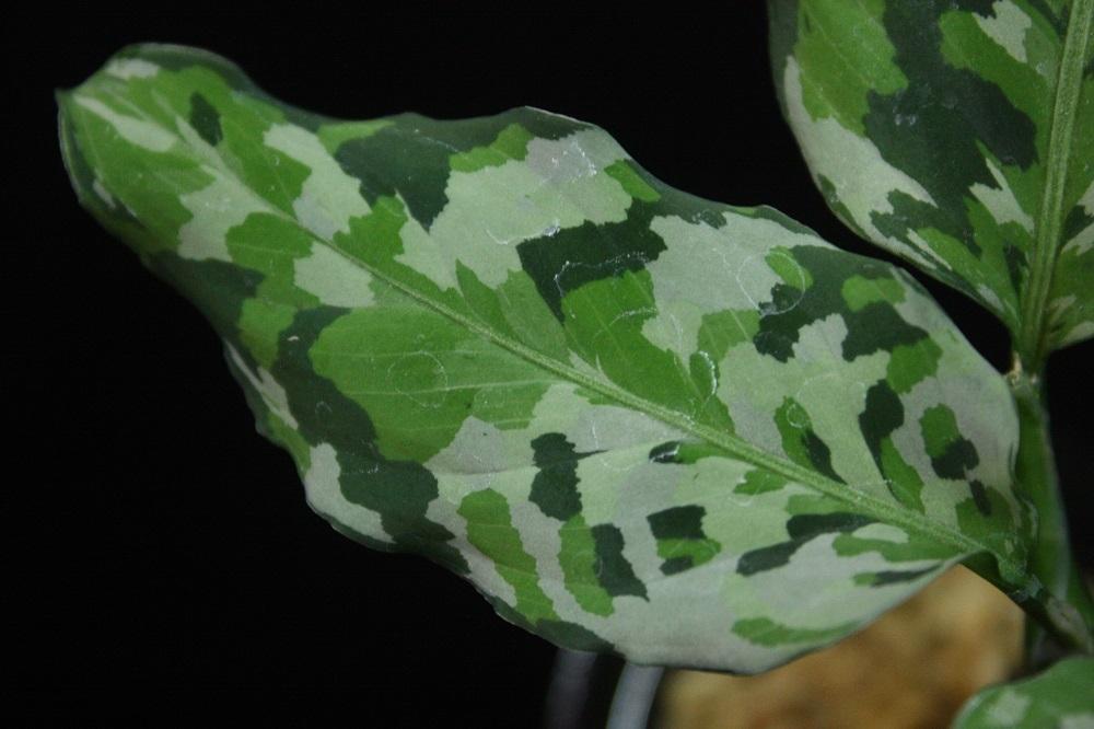 アグラオネマ ピクタム トリカラーアッパーグレード[Aglaonema pictum tricolor