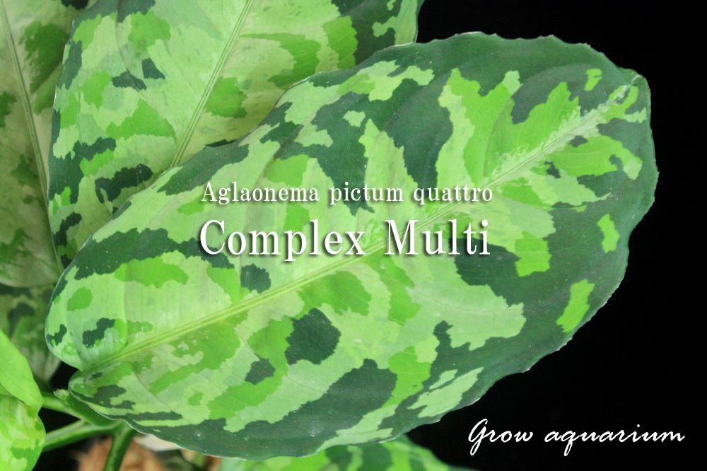 アグラオネマ ピクタム クワトロ コンプレックス マルチ[Aglaonema pictum quattro