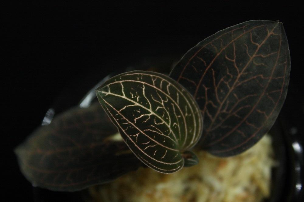 アネクトキルス アルボリネータス[Anoectochilus albolineatus]A ジュエルオーキッド