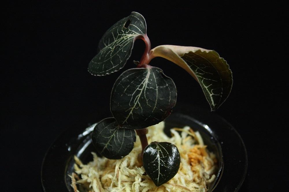 アネクトキルス フォルモサーナス[Anoectochilus formosanus]A ジュエルオーキッド