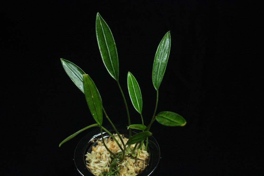 >パルダリウム アリダルムsp.ホワイトファン[Aridarum sp. White fang]
