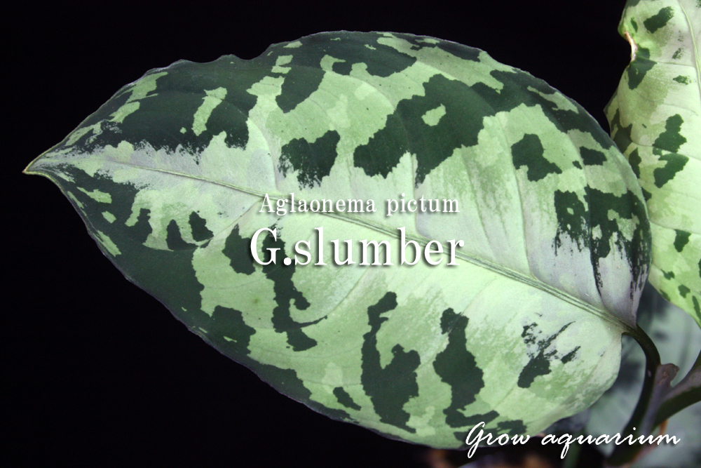アグラオネマ ピクタム ゴールデンスランバー[Aglaonema pictum G.slumber]
