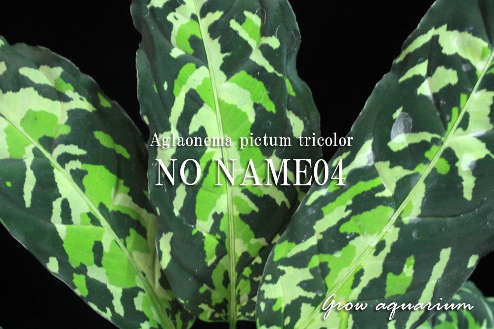 アグラオネマ ピクタム トリカラー ノーネーム04[Aglaonema pictum tricolor