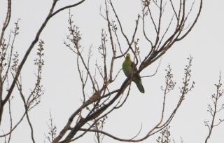 180226002 大きな桐の枝にいたアオバト♂(鵲)