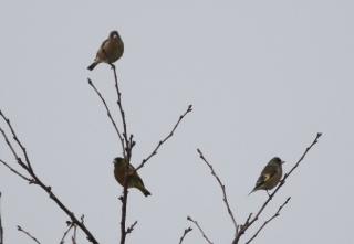 180226003 カワラヒワの群れの一部(鵲)