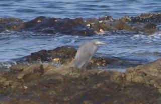 180226011 岩場で探餌中のクロサギ(鵲)