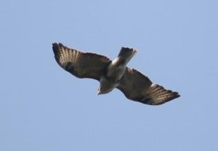 180226021 ゆっくり飛翔中のノスリ(鵲)