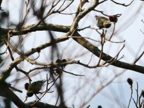 180226022 ノグルミの実を食べるマヒワ(鵲)