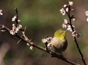 180226023 梅の花に来たメジロ(鵲)