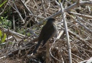 180226028 枯草に止まっていたシロハラ(鵲)