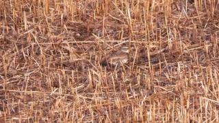 180226030 刈られた葦原で採餌中のツグミ