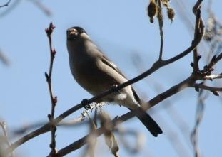 180226032 桜の芽を食べていたウソ♀(鵲)