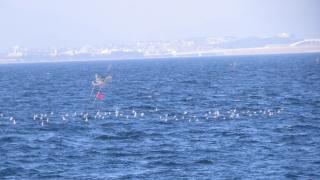 180226038 船上から見たハマシギとミユビシギの群れ