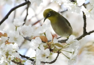 180326015 満開の山桜で採餌するメジロ(鵲)