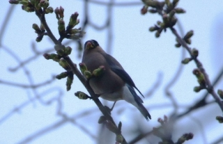 180326022 咲き始めた桜で見かけたウソ♀(鵲)